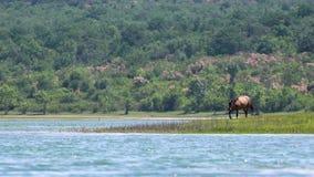 Kastanjepaard het weiden op de kust van een groot meer stock videobeelden