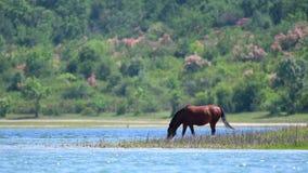Kastanjepaard het weiden op de kust van een groot meer stock footage