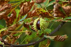Kastanjer på ett kastanjebrunt träd fotografering för bildbyråer