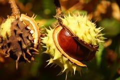 Kastanjer på ett kastanjebrunt träd arkivfoto