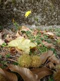 kastanjes in de stekelige schil op de achtergrond van de herfstbladeren Op de achtergrond is een gele bloem royalty-vrije stock afbeeldingen