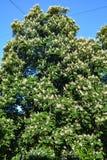 Kastanjesbloei in een openbare tuin in de stad royalty-vrije stock afbeeldingen
