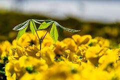 Kastanjespruit onder altvioolbloemen in de lente royalty-vrije stock afbeeldingen