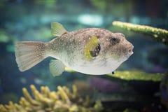 Kasten-Fische lizenzfreie stockfotos