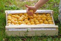 Kasten mit Aprikosen und der Hand Lizenzfreie Stockfotos