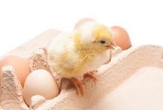 Kasten mit Eiern und einem kleinen Huhn Stockbild
