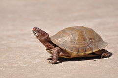 Kasten-Schildkröte Stockfotografie