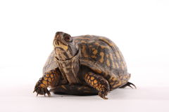 Kasten-Schildkröte Lizenzfreies Stockbild