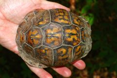 Kasten-Schildkröte (Terrapene Carolina) lizenzfreie stockfotos