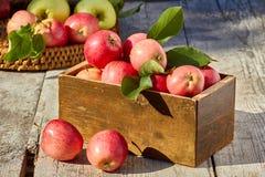 Kasten und Abtropfbrett von kürzlich geernteten Äpfeln herein auf Holztisch Lizenzfreies Stockbild