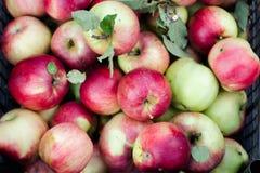 Kasten voll von Äpfeln von oben genanntem im Garten stockfotografie