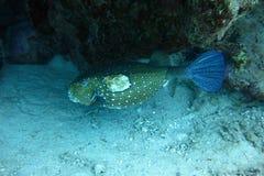 Kastenfische im Roten Meer lizenzfreie stockfotos