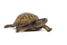 Kastenschildkröte auf einem weißen Hintergrund Stockbild
