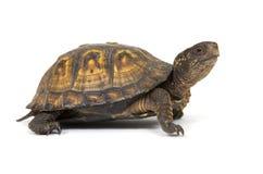 Kastenschildkröte auf einem weißen Hintergrund Stockfotografie