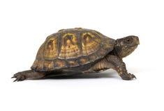 Kastenschildkröte auf einem weißen Hintergrund Stockfotos