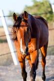 Kastrera för häst för Trotteur francaistravare som är utomhus- Arkivbild