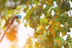 Kastrieren des Baums mit Wasser oder Schädlingsbekämpfungsmitteln Lizenzfreies Stockfoto
