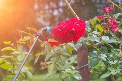 Kastrieren von Blumen mit Wasser oder Schädlingsbekämpfungsmitteln Lizenzfreies Stockbild