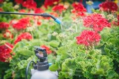 Kastrieren von Blumen mit Wasser oder Schädlingsbekämpfungsmitteln Stockfoto