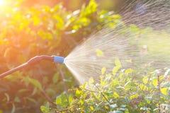 Kastrieren von Blumen mit Wasser oder Schädlingsbekämpfungsmitteln Stockbilder