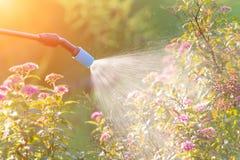 Kastrieren von Blumen mit Wasser oder Schädlingsbekämpfungsmitteln Lizenzfreies Stockfoto