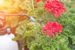 Kastrieren von Blumen mit Wasser oder Schädlingsbekämpfungsmitteln Stockbild