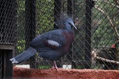 Kasuar-Vogel, Kasuardisambigusierung stockfotografie