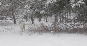 Kaszmirowej kózki łasowania gałąź w Śnieżnej burzy zbiory