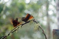 Kasztanu coronet hummingbirds walczyć zdjęcia royalty free