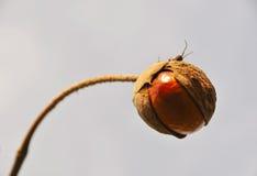 kasztanu dziki nasieniodajny fotografia stock