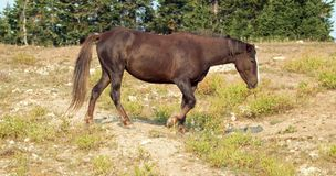 Kasztanu Dzikiego konia Podpalany ogier w Pryor gór Dzikiego konia pasmie w Montana usa Fotografia Stock