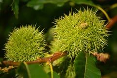 Kasztany Wśrodku Jego ciernia W brzoz łąkach W Lugo Kwiatów krajobrazów natura zdjęcia royalty free