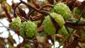 Kasztany zawieszający od ich badyla w drzewie Fotografia Royalty Free
