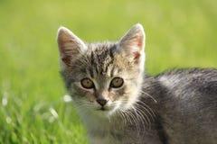 Kat cinzento Foto de Stock Royalty Free