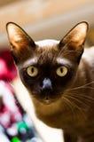 Kat de in camera, Thaise van chocoladecat looking, de kat van Thailand, gele ogen stock fotografie