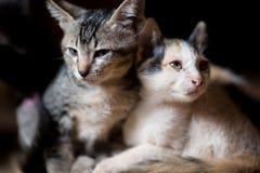 Kat, de kleine katten van A, Tweelingenkatten Royalty-vrije Stock Fotografie