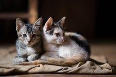 Kat, de kleine katten van A, Tweelingenkatten Stock Foto's