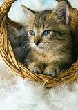 Kat in de mand Stock Fotografie