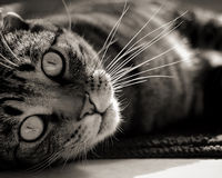 Kat die aan zijn kant liggen Stock Fotografie