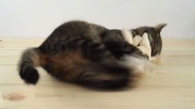 Kat die actief met stuk speelgoed, het bijten en tearing klauwen spelen stock video
