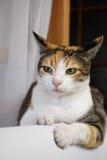 Kat die bij het luisteren wordt geconcentreerd Royalty-vrije Stock Foto's