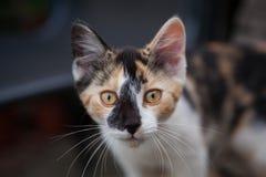 Kat die binnen aan camera kijken Stock Afbeelding