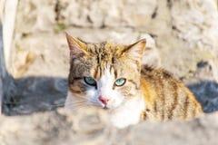 Kat die de camera bekijkt Gele kat die met blauwe ogen binnen aan de camera staren royalty-vrije stock afbeeldingen