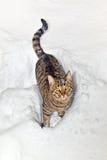 Kat die door diepe sneeuw wandelen stock foto's