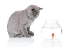 Kat die een goudvis 2 bekijkt Royalty-vrije Stock Afbeelding