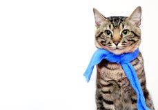 Kat die een sjaal op een witte achtergrond dragen Stock Afbeeldingen