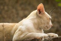 Kat die erachter eruit ziet Royalty-vrije Stock Foto