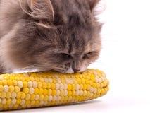 Kat die graan in maïskolf eet Stock Foto's