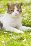 Kat die in gras ligt Stock Afbeelding