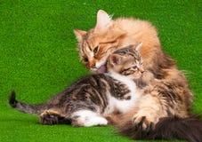 Kat die haar katje verzorgen Stock Afbeeldingen